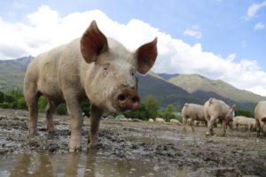 Новый вирус свиного гриппа, способного вызвать пандемию, был обнаружен в Китае