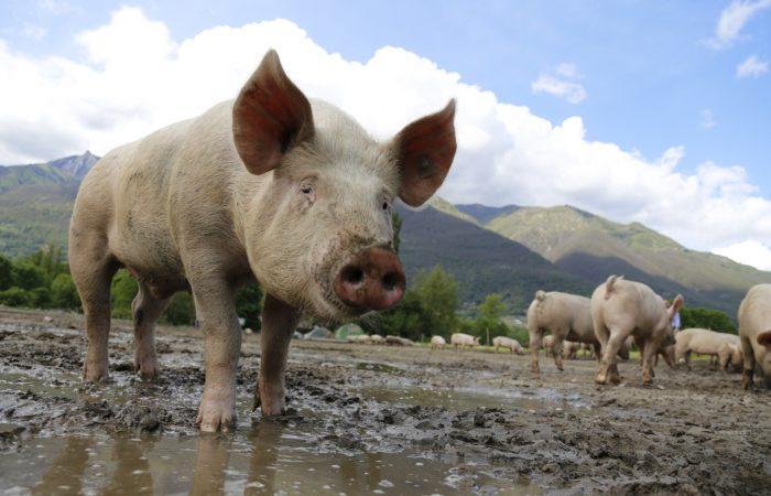 Фото: Новый вирус свиного гриппа, способного вызвать пандемию, был обнаружен в Китае