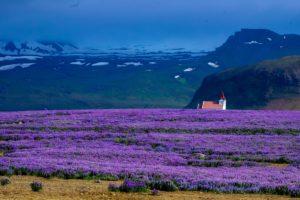 Лавандовые поля  природное наследие Франции